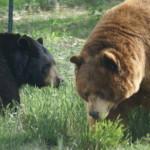 black vs grizz
